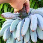 ما تريد معرفته عن الموز الازرق!