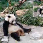 (فيديو) سُياح يقذفون دب الباندا بالحجارة في حديقة حيوان لإقاظه من النوم