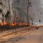 من هو طائر الحدأة الذي تسبب في زيادة حرائق أستراليا؟