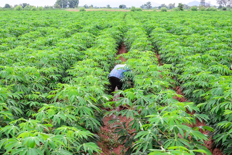 Community Cassava Farming For Biofuels Extraction For