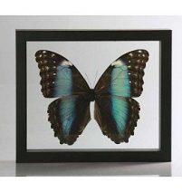 Ingelijste vlinder - Morpho Deidamia-