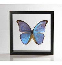 Ingelijste vlinder - Morpho Godarti-
