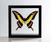 Ingelijste vlinder - Papilio Thoas-