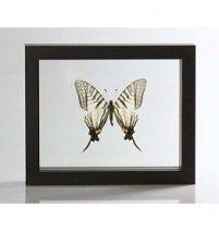 Ingelijste vlinder - Pazala Euroea-