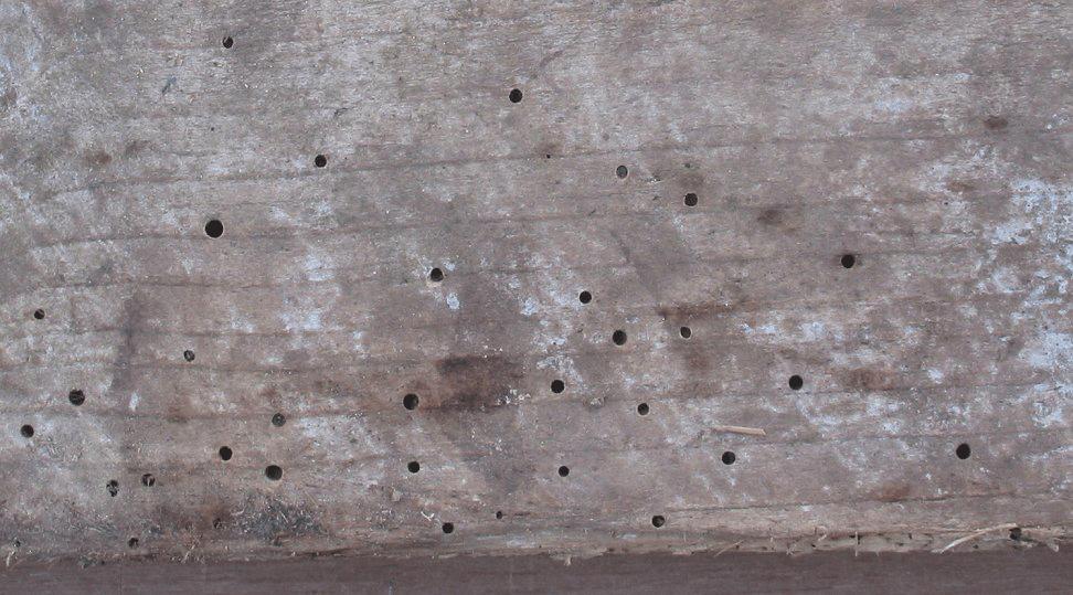 Wanneer de houtworm volgroeit is en genoeg hout heeft gegeten, laat hij deze gaatjes in het hout achter.