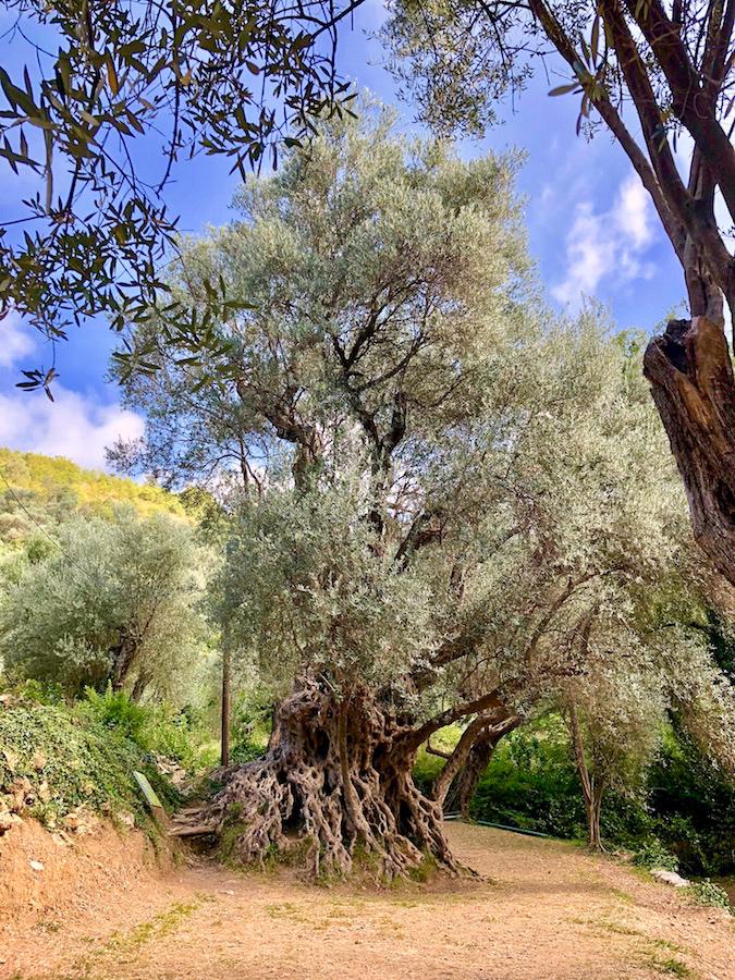 cтарая маслина черногория