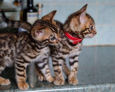 Mooie Bengaalse kittens