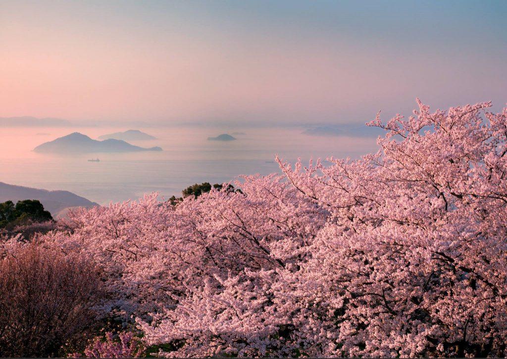 Древний мир цветущей сакуры