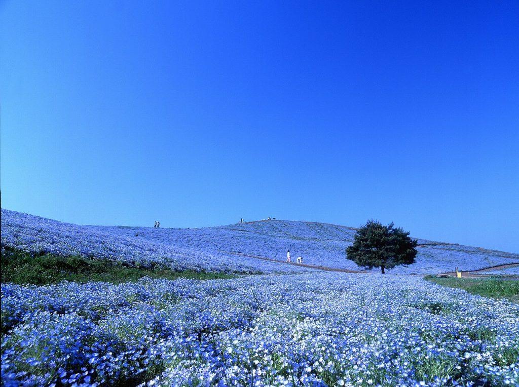 Цветы Хитачи