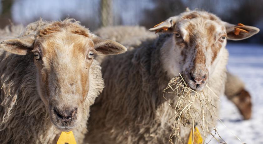 biologische schapen