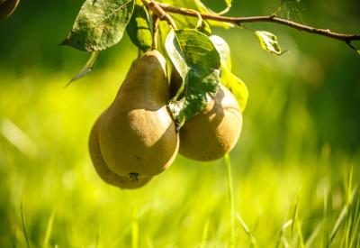 peren aan boom