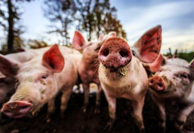 biologische varkens in uitloop