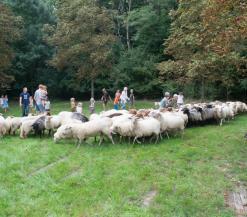 mollekesfest schapen