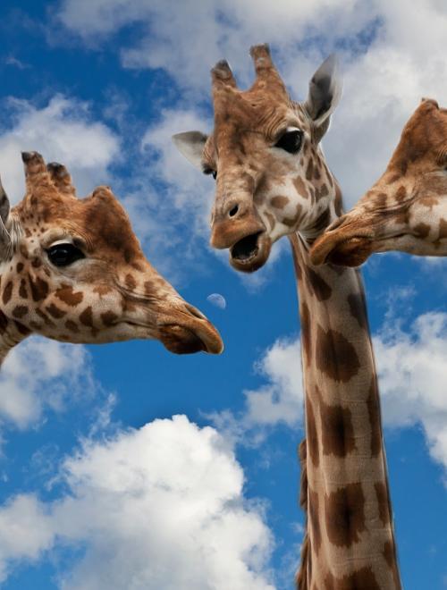 giraffen in dialoog